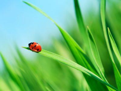 Mariquita en la hierba