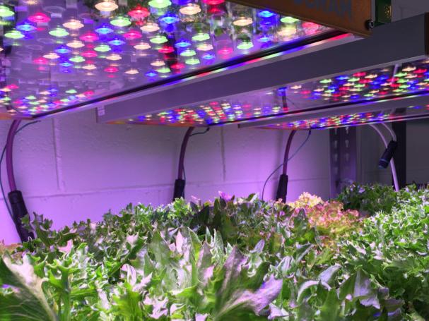 Plantas en interior, iluminadas por un techo de luces Phytohy de Osram, con varios colores y una luz violácea de fondo