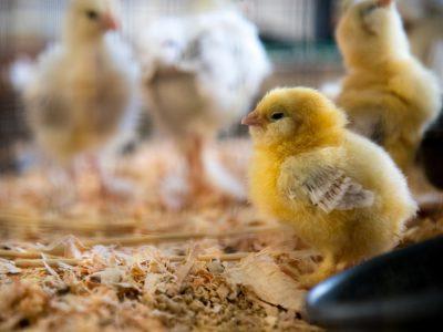 Pollito en una granja